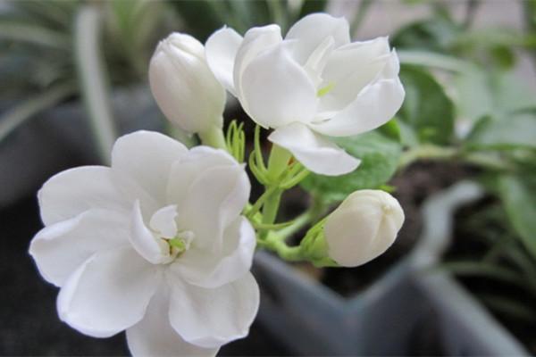 茉莉花常見的病蟲害及其防治方法