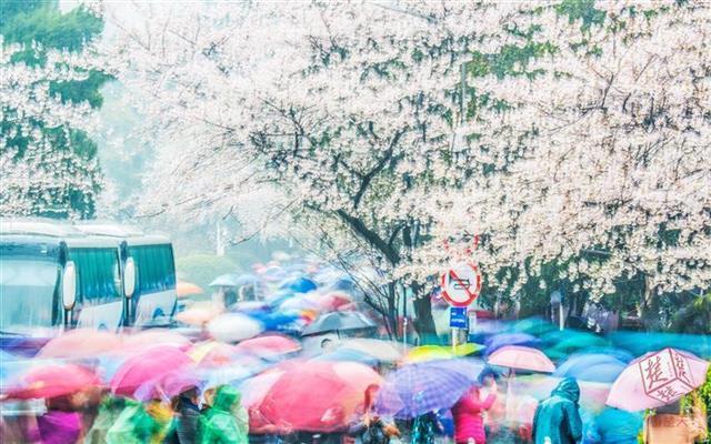 武汉赏樱季:大雨难挡游人脚步 邻省自驾游趋多_遨游vpn