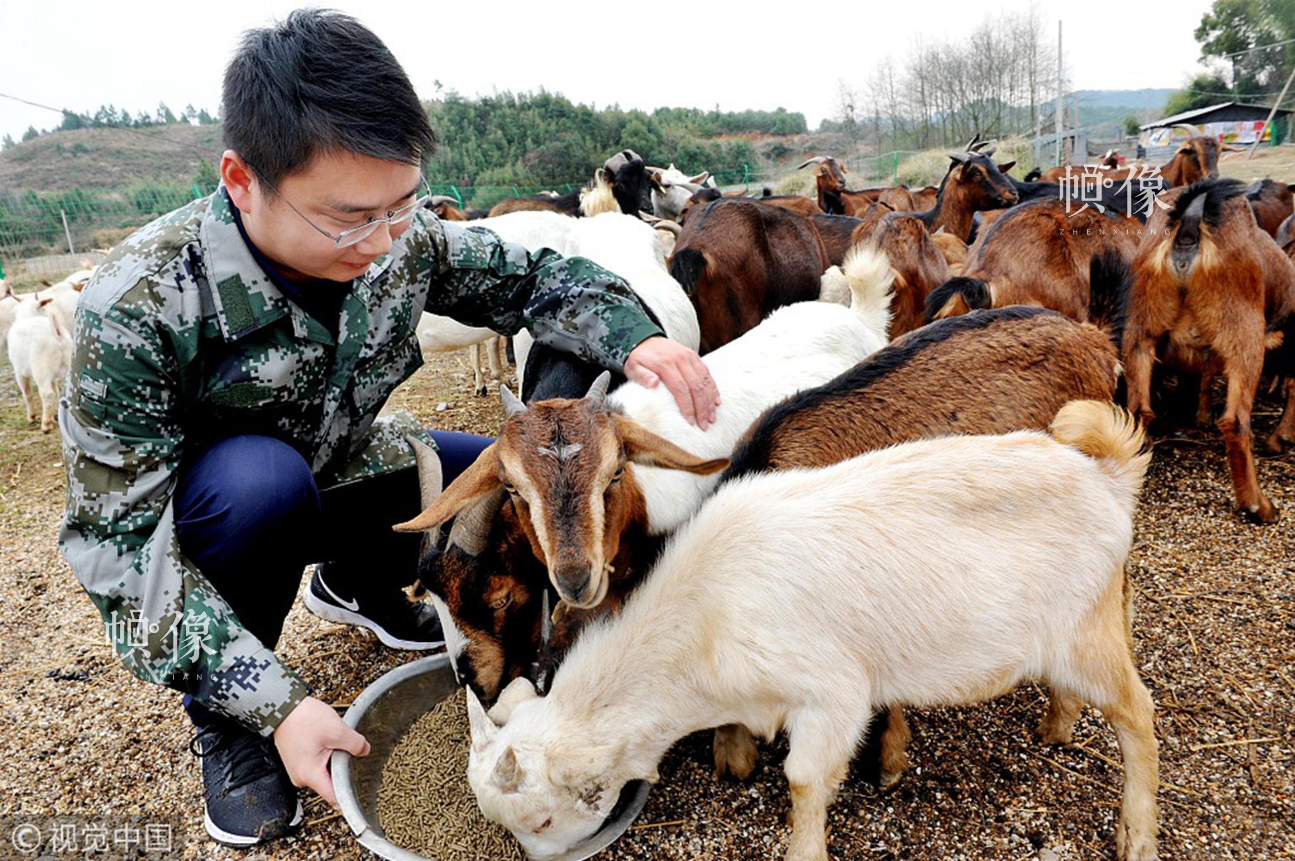 2018年3月4日,江西上饶鄱阳县金盘岭镇党员干部利用周末休息时间,来到该镇广洲村扶贫种养合作社,了解合作社山羊的生长和销售情况。视觉中国
