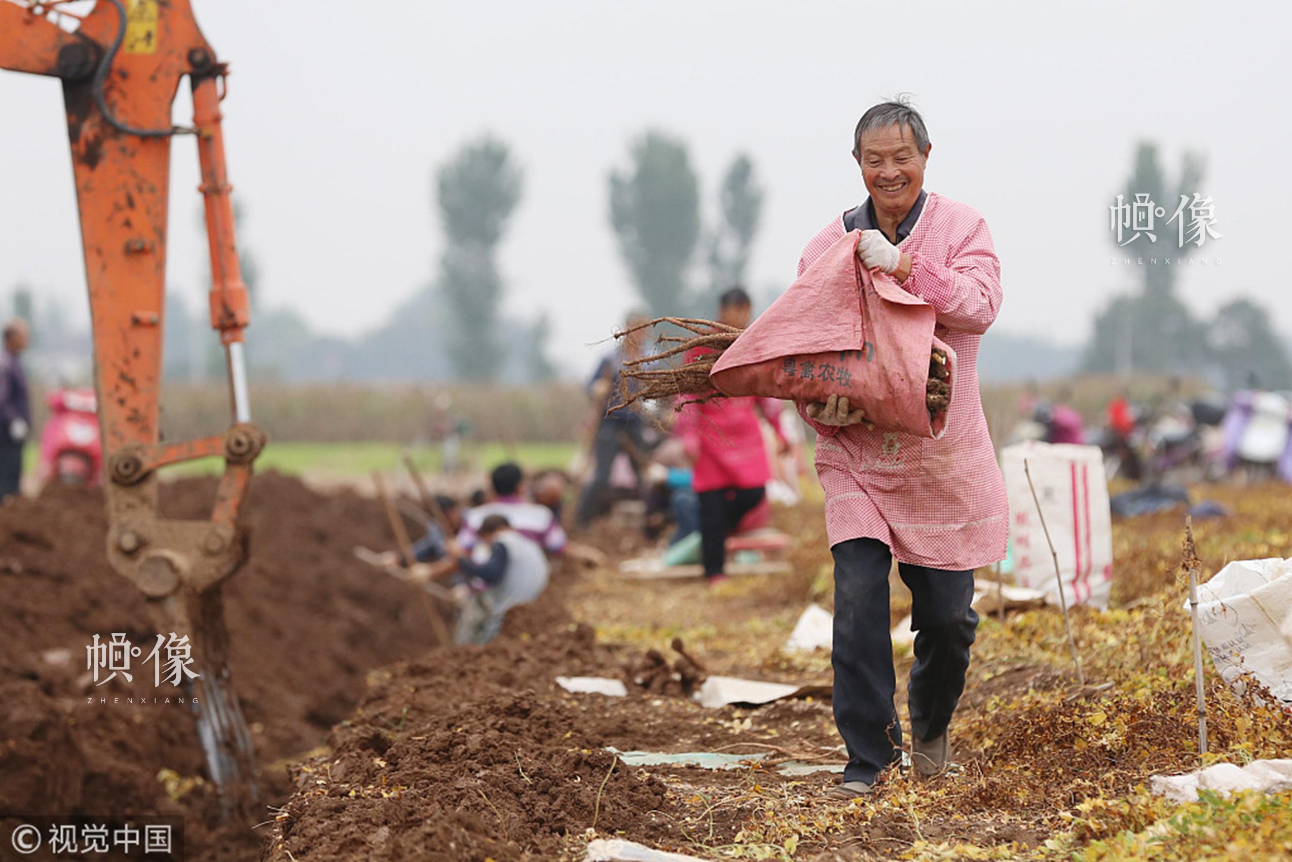 2017年10月24日,河南省焦作市,温县赵堡镇西辛庄村农民在采收铁棍山药。视觉中国