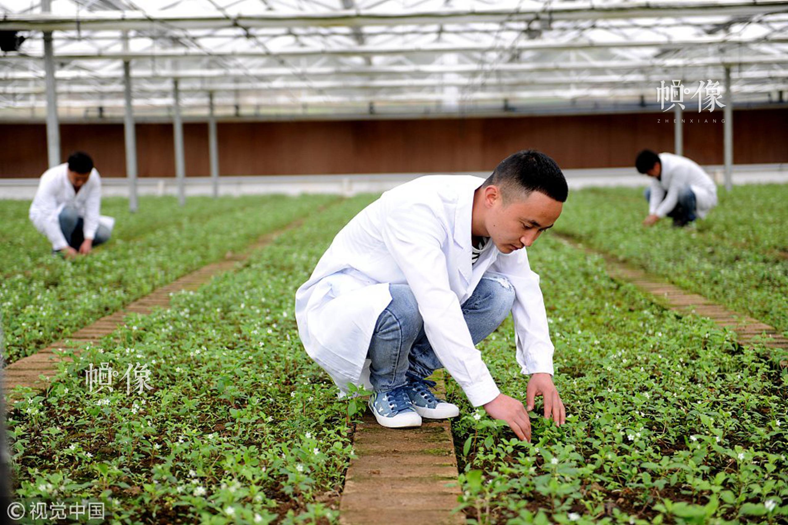 2018年3月10日,贵州省黔东南苗族侗族自治州施秉县牛大场镇牛大场村扶贫产业园区内的育苗点,工作人员在查看育苗情况。视觉中国