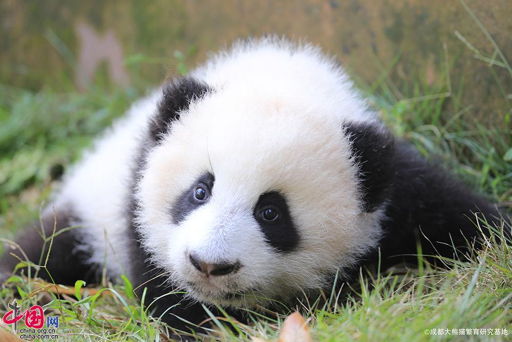 成都大熊猫繁育研究基地是中国政府实施大熊猫等濒危野生动物