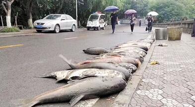 震惊!重庆一高校捞出数条大鱼 校方:不吃了 卖掉买鱼苗