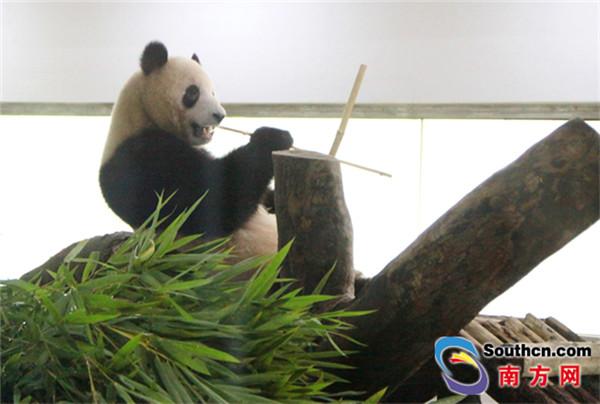 野外大熊猫的寿命一般为1820岁,圈养状态下可超过30岁,5岁的大熊猫即迈入成年。8月23日、27日分别是居住在广州动物园熊猫馆的星一雅一5周岁的生日,为庆祝星一雅一成年,8月23日广州动物园为它们大摆宴席,精心准备了生日Party。