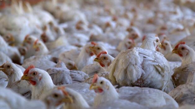 动物保护协会将每年发布报告,持续关注,推动这些企业改善肉鸡的生存