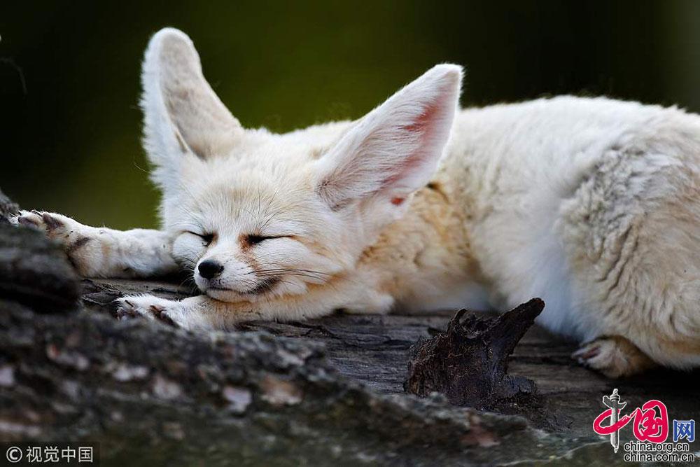 法国厄尔省瓦德勒伊,动物园内的一只非洲狐睡觉.