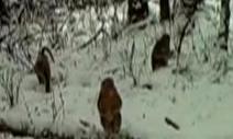 四川成都:红外相机拍摄到金丝猴取食玩乐珍贵画面 cba外援名单