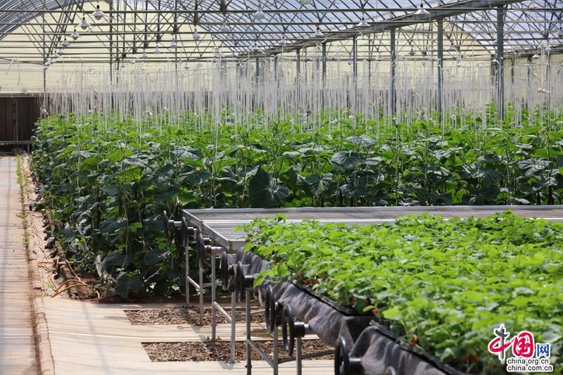 """我的未来不是梦串词:宝鸡市陈仓区现代蔬菜基地""""合作社+农户""""带动群众增收致富"""