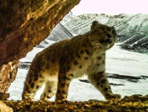 萌态十足!红外相机拍到黄河源地区野生雪豹活动照[组图]