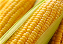 """供需缺口扩大 玉米价格""""烫手"""""""