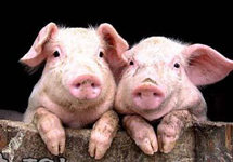 """15家猪企净利润至少翻一番,""""外行""""掀跨界养猪"""
