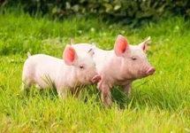 8月猪价涨幅大幅回落 猪企扩产保供稳市场