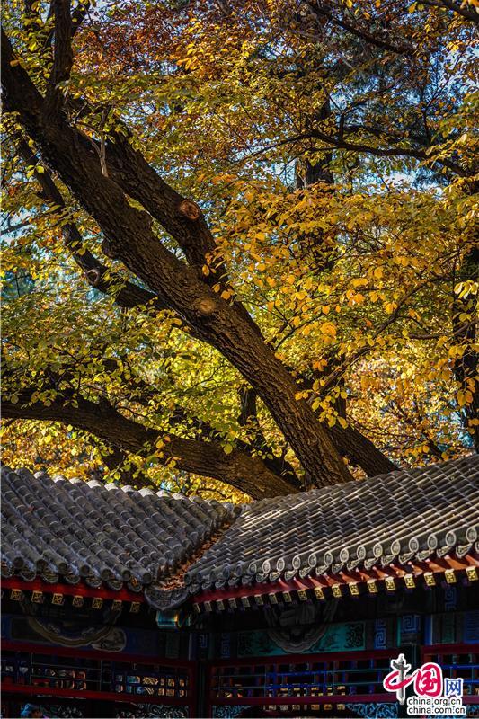 这里是北京|颐和园典藏的秋色片片枫叶情