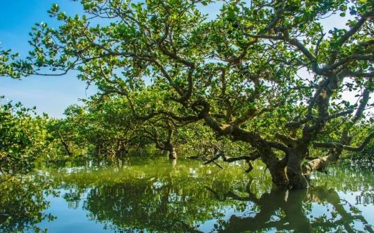 ▲红树林长在陆地海洋交接地带,潮涨时没进海里,潮退时浮出水面。受访者供图