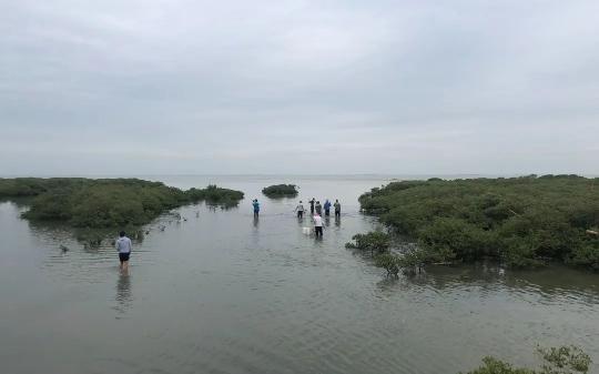 ▲当地村民从红树林之间穿过,前去赶海。新京报记者 吴娇颖 摄