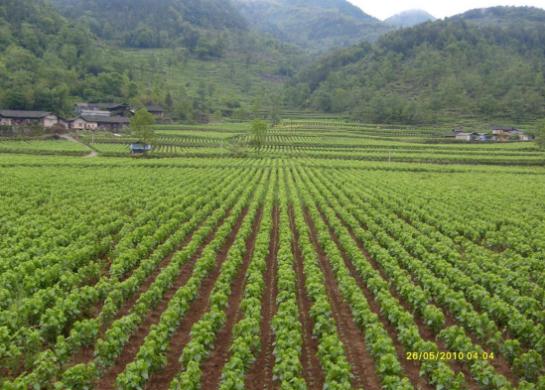 开启新里程 谱写新篇章 黔江做强做优桑蚕产业
