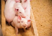 猪价十连降 生猪养殖企业面临成本压力