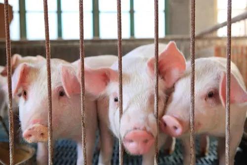 农业农村部:一季度生猪生产继续恢复 猪肉价格呈降势