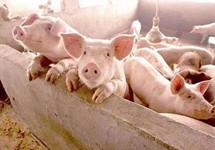 """生猪产业迎政策""""大礼包"""" 逆周期调节后何时翻"""