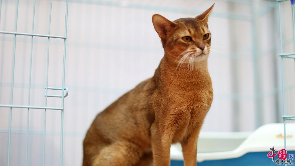 un chat abyssinian valu 200 000 yuans aper u dans un