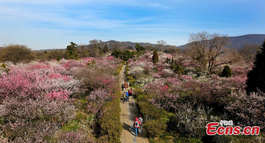 Quand le parfum des fleurs de prunier embaume nanjing - Quand tailler un prunier ...