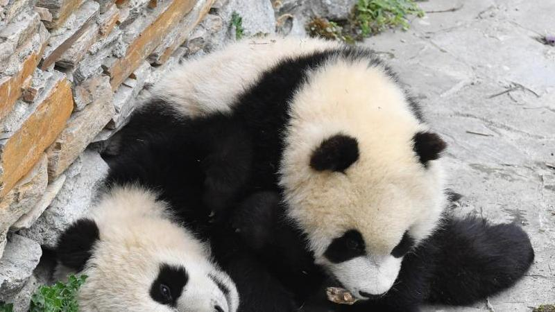 quand les petits pandas g ants profitent des bienfaits du soleil. Black Bedroom Furniture Sets. Home Design Ideas