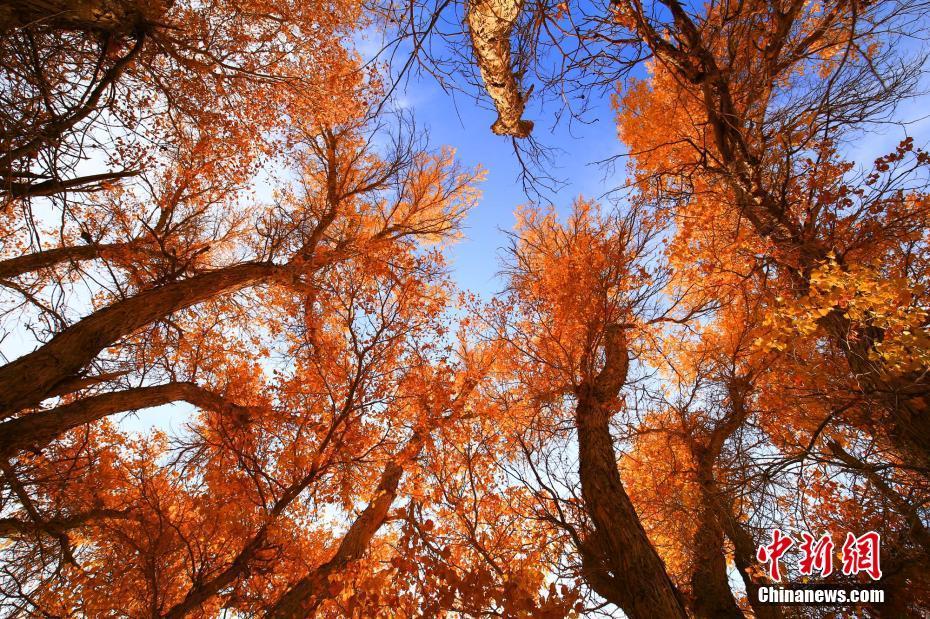 新疆托克遜県 天山の麓のコトカケヤナギが秋色に