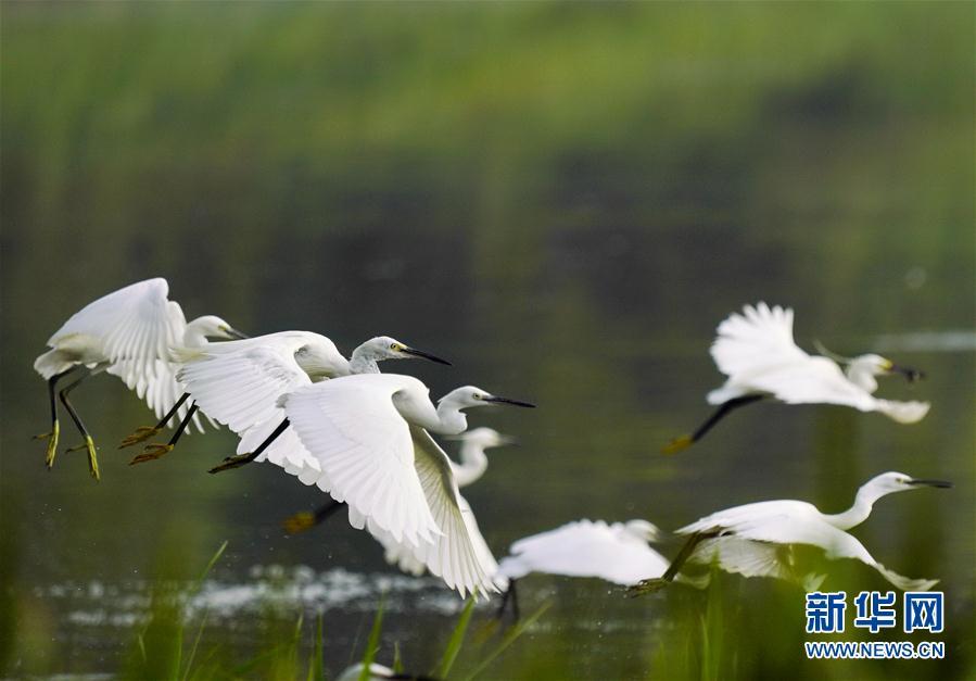 (环境)(1)河北唐山:鹭鸟南湖舞翩跹
