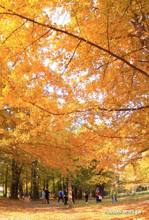 """Любование желтыми листьями гинкго в первый день """"начала зимы"""""""
