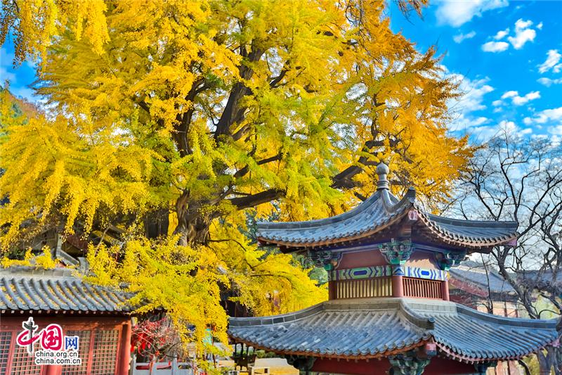 Красивые деревья гинкго в Храме Линцюань, уезд Цишуй, пров. Шаньдун