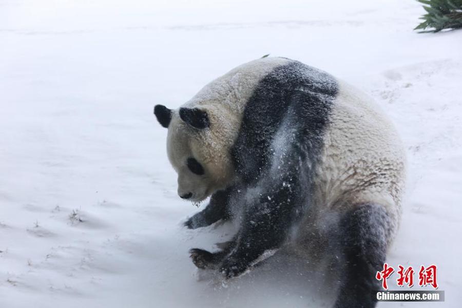 Большая панда играет в снегу