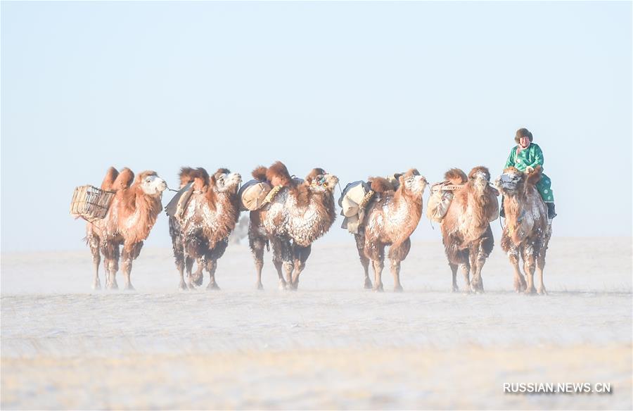 Фестиваль верблюдов в АР Внутренняя Монголия