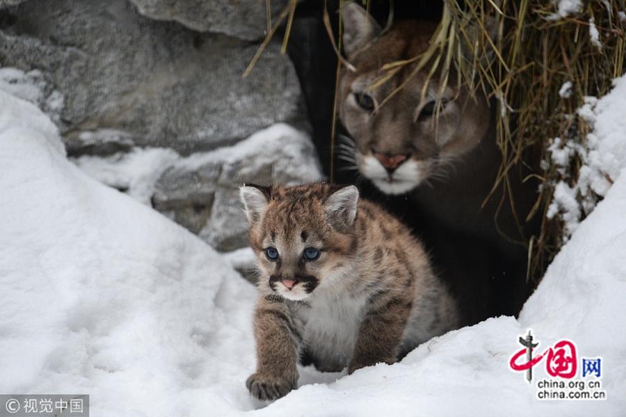 10 января по местному времени, в новосибирском зоопарке детеныш пумы играл со своей мамой, умиляя посетителей.