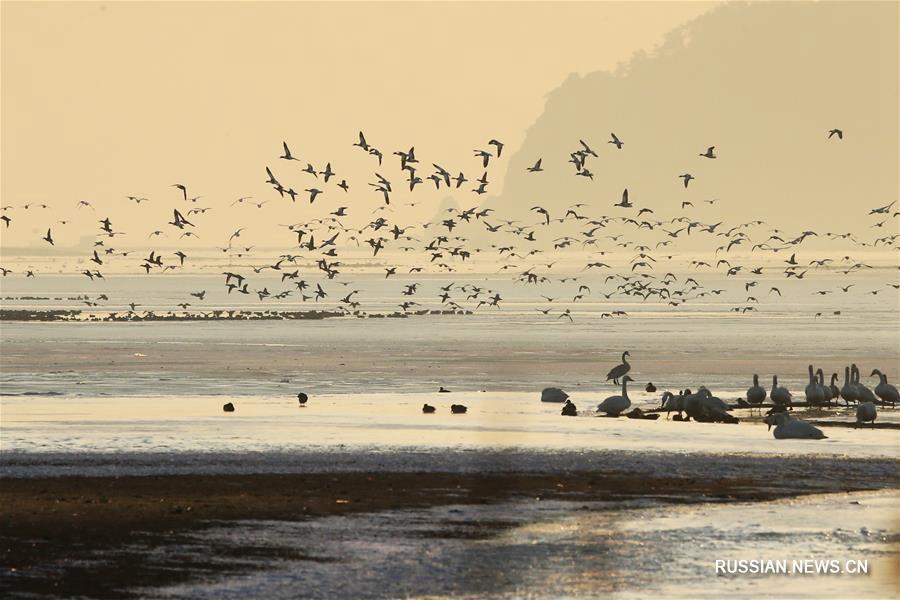 Лебеди на рассвете в провинции Шаньдун
