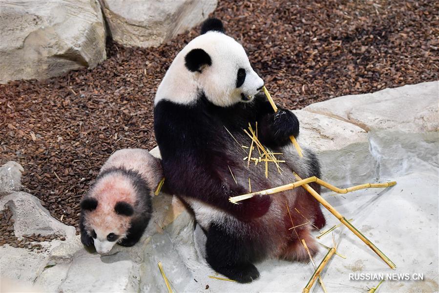 Панда Юань Мэн, родившаяся во Франции, впервые предстала перед публикой