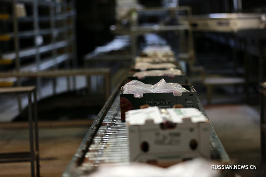 Китай может стать крупнейшим рынком для экспорта чилийских нектаринов