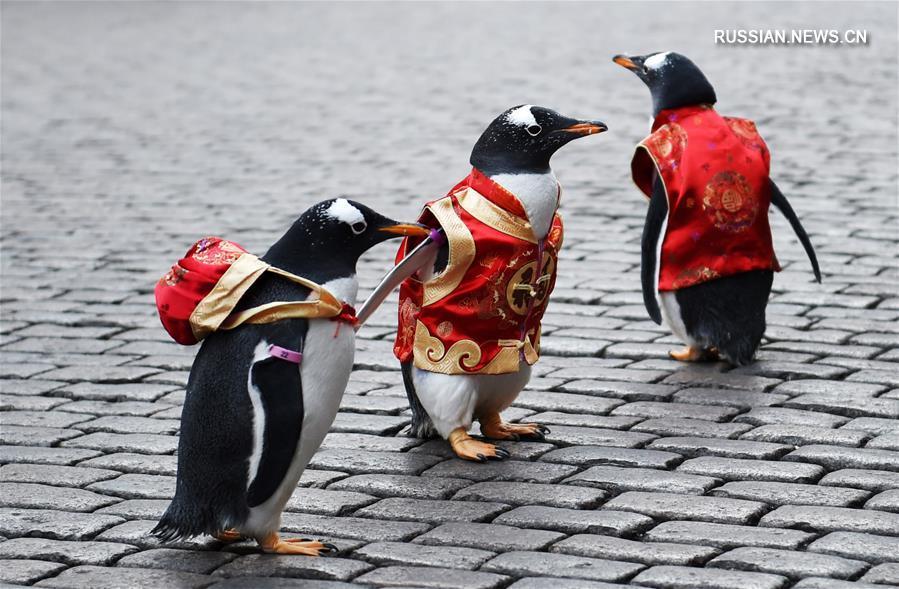 Пингвины Харбина принарядились в преддверии праздника Весны