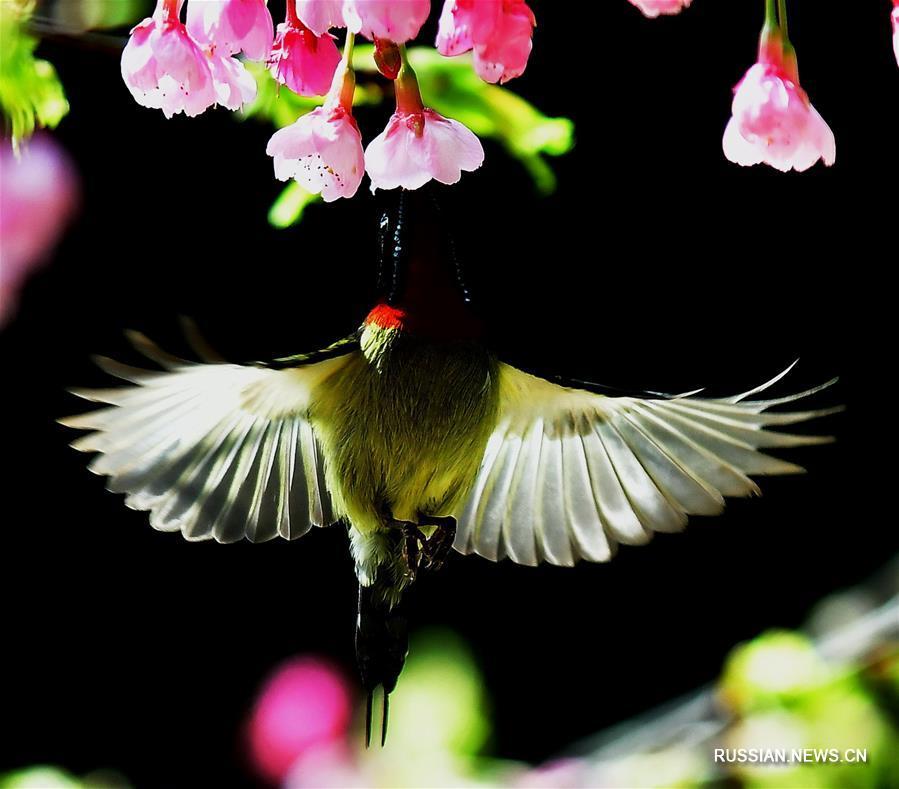 Птицы и цветы вишни на востоке Китая