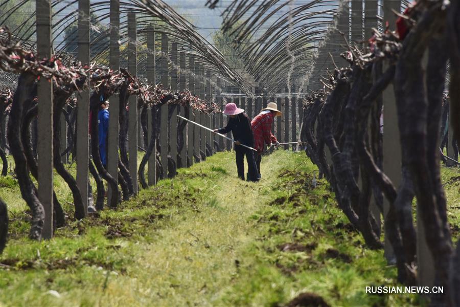 С приходом весеннего тепла крестьяне, сельскохозяйственные предприятия и кооперативы по всему Китаю приступили к высадке саженцев и другим сезонным сельхозработам.