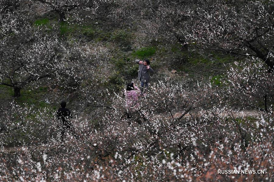 Цветущая слива в городском округе Хучжоу