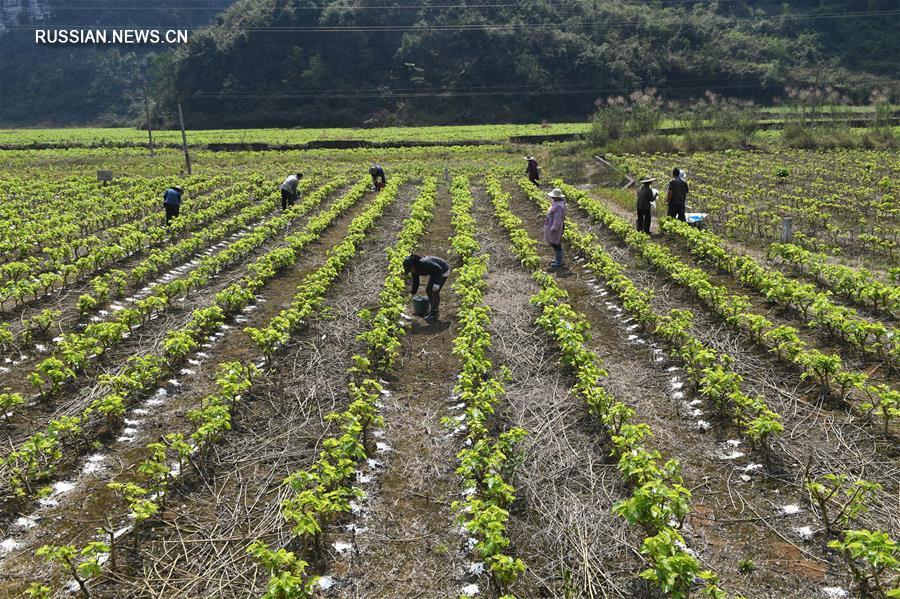 В мартовские дни всеобщего цветения на полях Китая полным ходом идут весенние сельскохозяйственные работы.