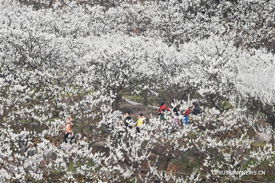 Массовое цветение слив в деревне Шанматай