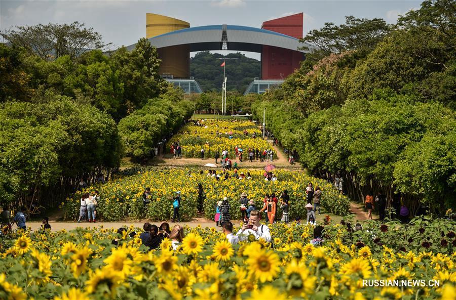 В Шэньчжэне цветут подсолнухи