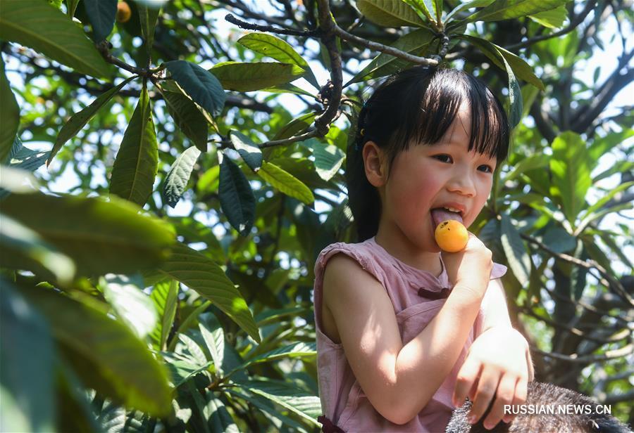 В поселке Танци в окраине города Ханчжоу - административного центра провинции Чжэцзян /Восточный Китай/ наступил сезон сбора плодов эриоботрии японской / мушмулы/.