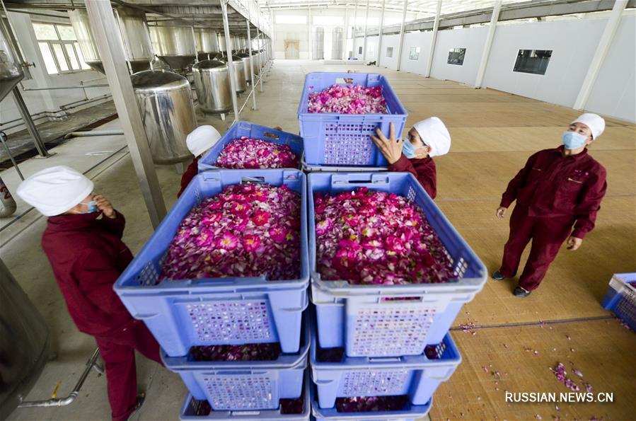 Производство эфирного масла из хотанских роз