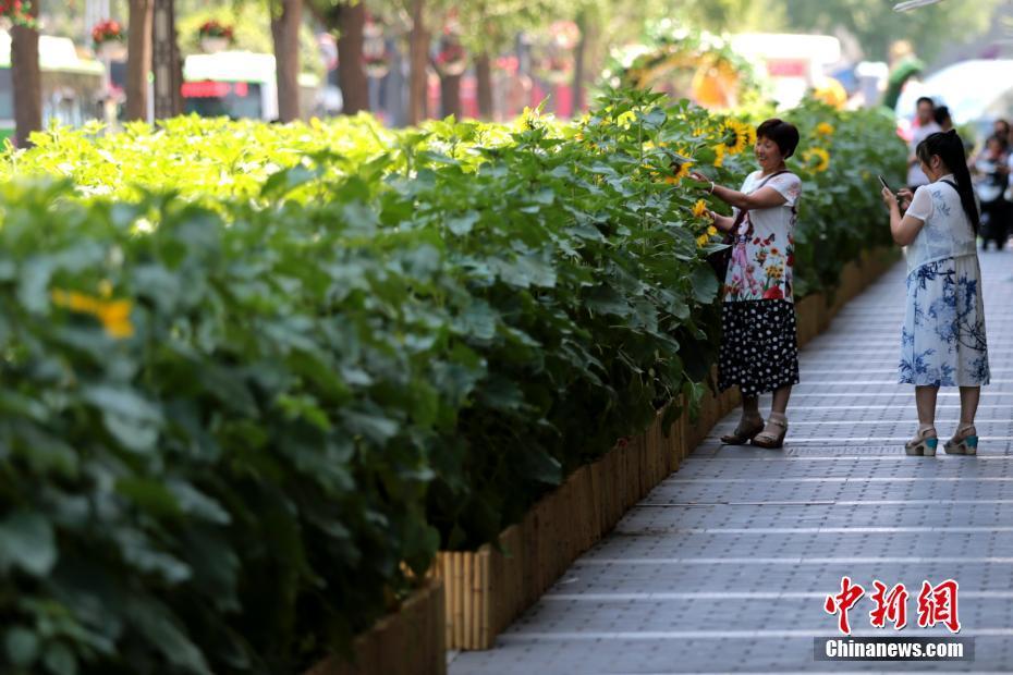 Очаровательные подсолнечники на улице г. Сиань