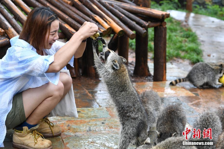 Праздник Дуаньу для енотов в зоопарке Юньнань