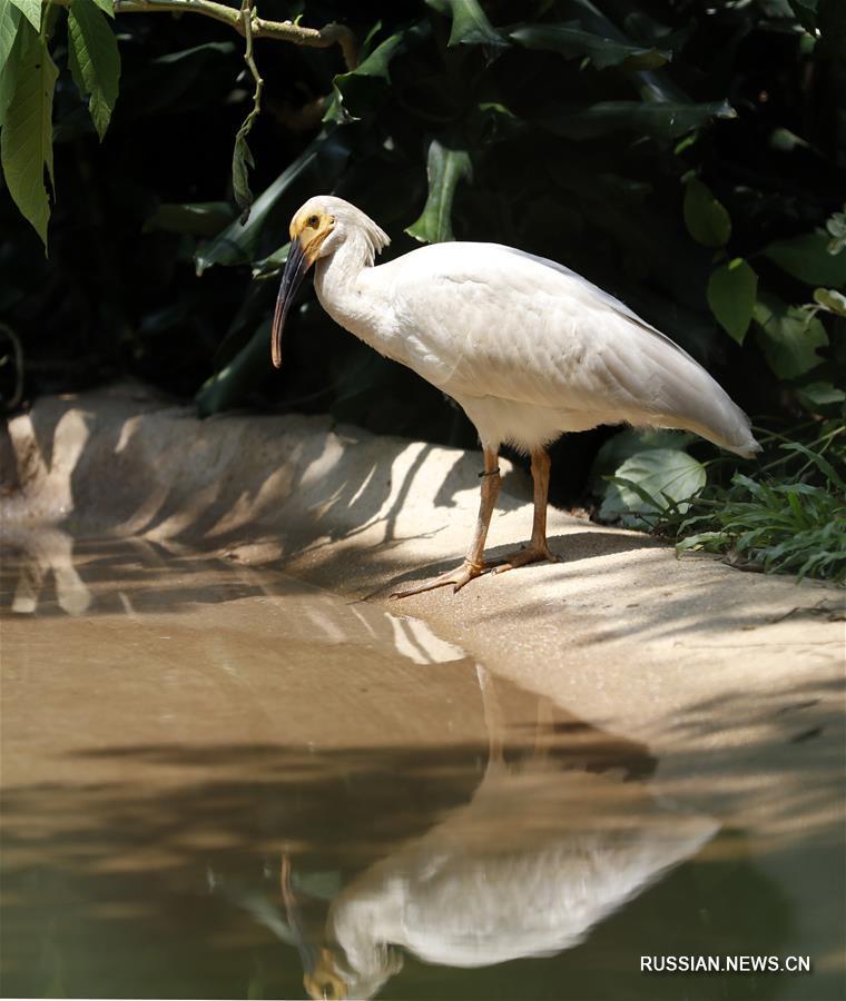 """Посетители развлекательного парка птиц """"Чанлун"""" в Гуанчжоу /провинция Гуандун, Южный Китай/ сегодня впервые увидели птенцов красноногого ибиса, появившихся на свет в этом году."""