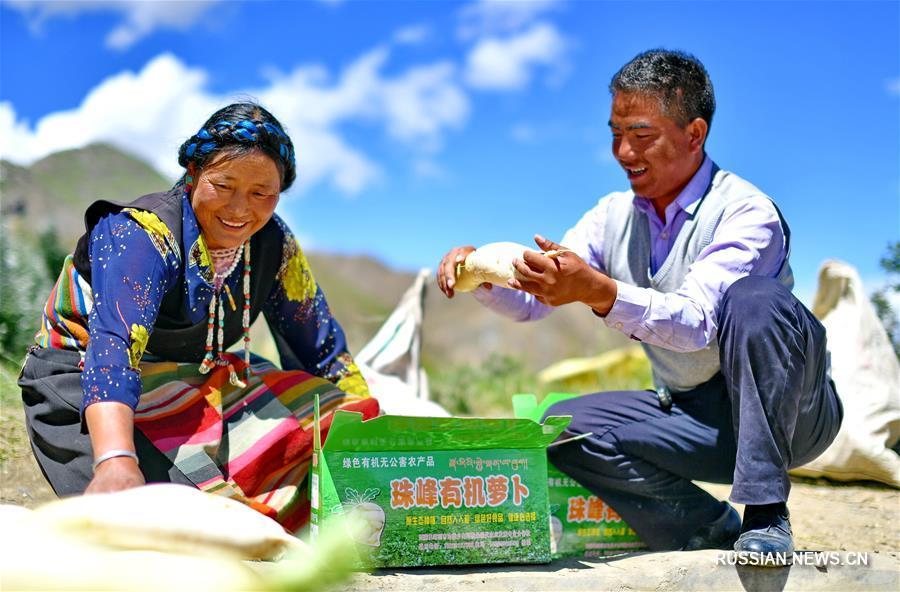 """В """"городке редьки"""" -- волости Беншунг района Самдрубце городского округа Шигадзе Тибетского автономного района /Юго-Западный Китай/ -- на днях на плантациях площадью около 50 га начался сбор свежего урожая редьки."""