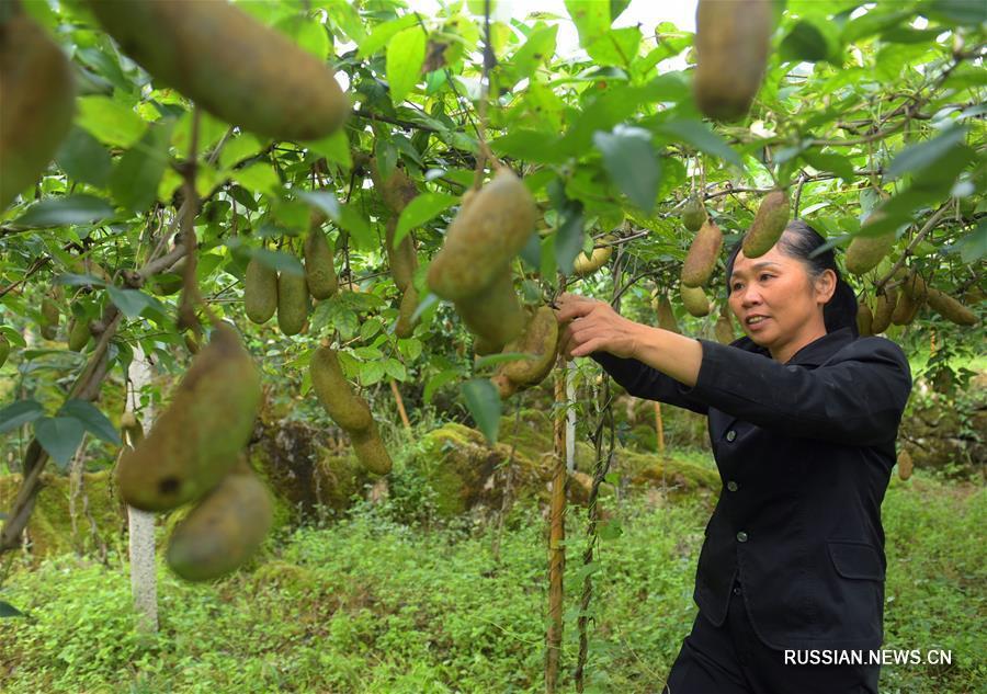 В начале осени крестьяне по всему Китаю заняты полевыми работами и уборкой урожая.